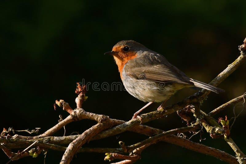Rode Robin zit in ochtendzon royalty-vrije stock afbeeldingen