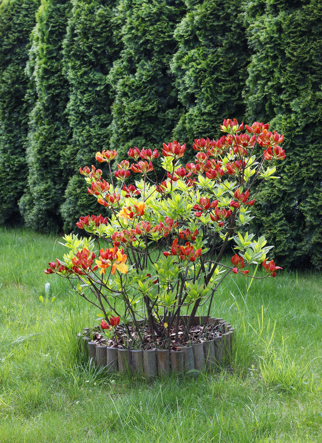Rode Rododendron (Azalea) in bloesem royalty-vrije stock foto's