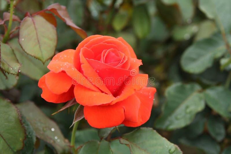 Rode roos met dauwdruppels in de tuin stock afbeelding