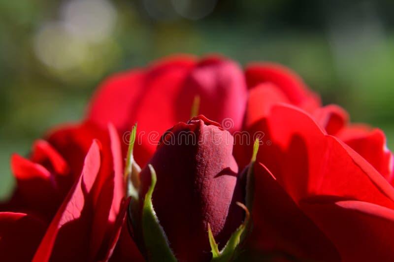Rode rosebud met rozen stock afbeeldingen