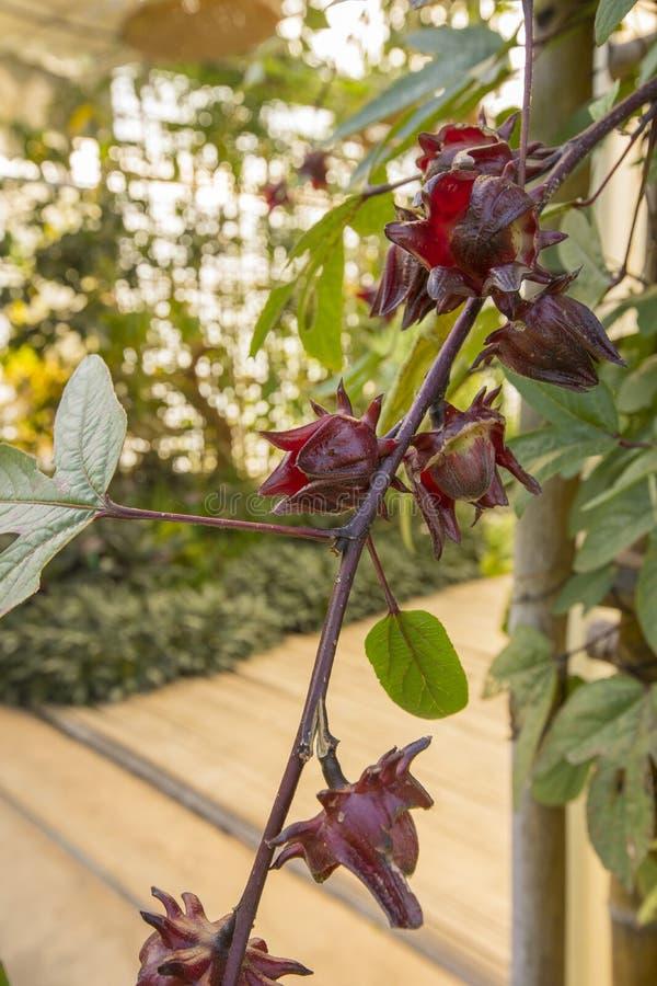 Rode Roselle-fruitbloem in moestuin stock foto