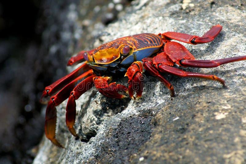Rode rotskrab stock afbeelding