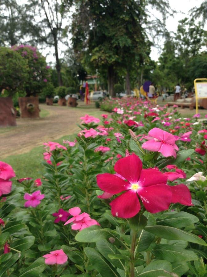 Rode Roze bloemen stock afbeelding