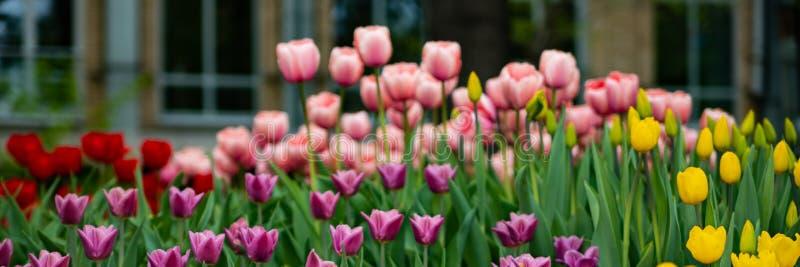 Rode, roze, gele tulpen op een Zonnige de lentedag, die in het Park onder het venster bloeien stock fotografie