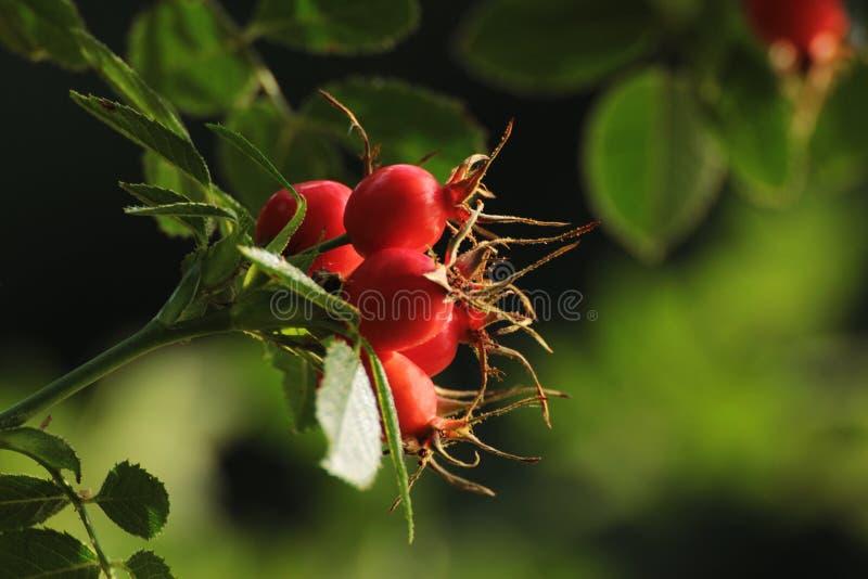 Rode rozebottels stock afbeelding