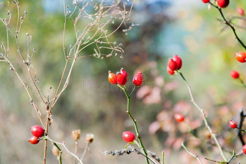 Rode rozebottels in de herfst op de achtergrond royalty-vrije stock fotografie