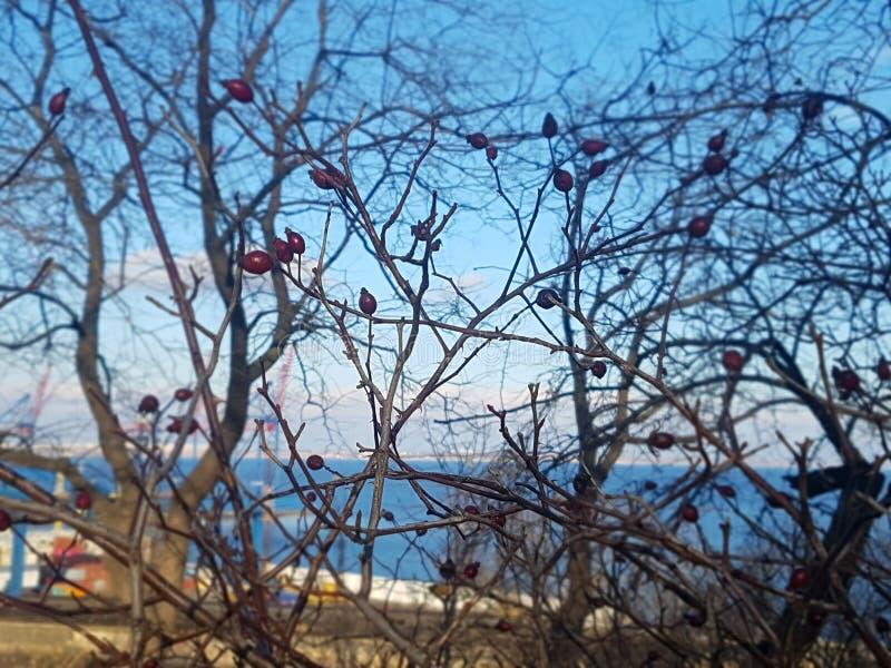 Rode rozebottels op naakte takken stock fotografie
