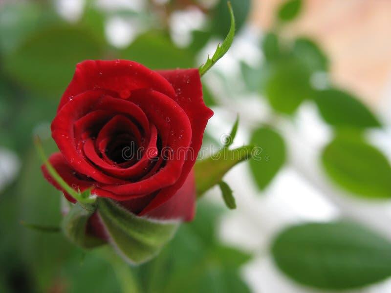 Rode rozen? royalty-vrije stock foto