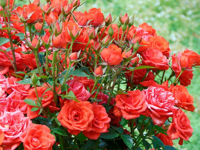 Rode rozen aan sinaasappel stock afbeelding