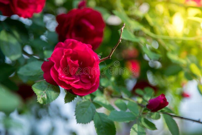 rode rozen in de eigen tuin Valentines, moeder's dag of verjaardagsachtergrond royalty-vrije stock afbeeldingen