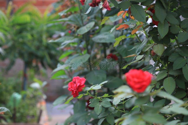 Rode rozen in de tuin van mijn huis stock afbeelding