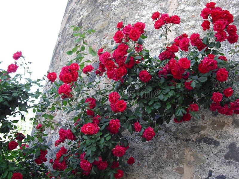 Rode rozen die de muur van een oude steentoren beklimmen royalty-vrije stock afbeelding