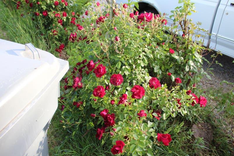 Rode rozen a royalty-vrije stock foto's
