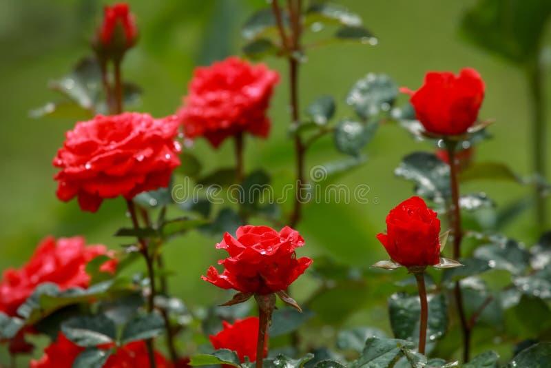 Rode rozen in groene tuin royalty-vrije stock afbeeldingen