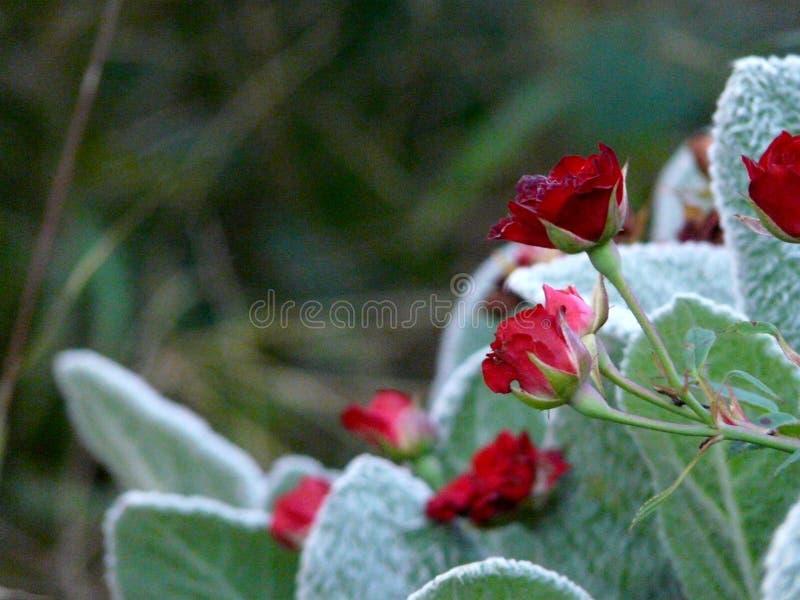 Rode rozen in onze tuinen stock afbeelding