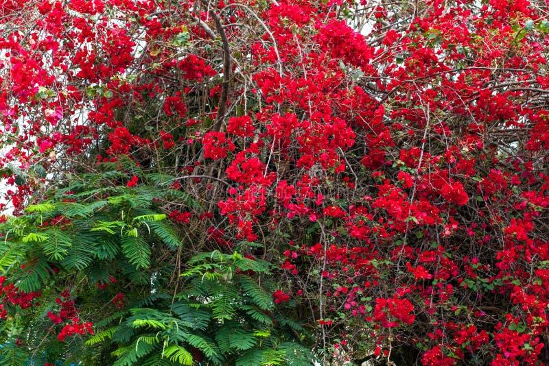 Rode rozen op de struik in tuin stock foto's