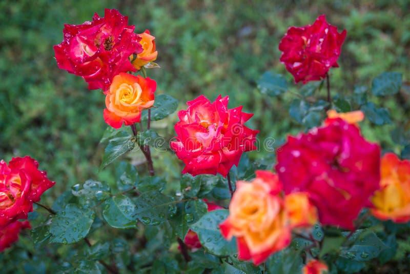 Rode rozen op groene achtergrond royalty-vrije stock foto