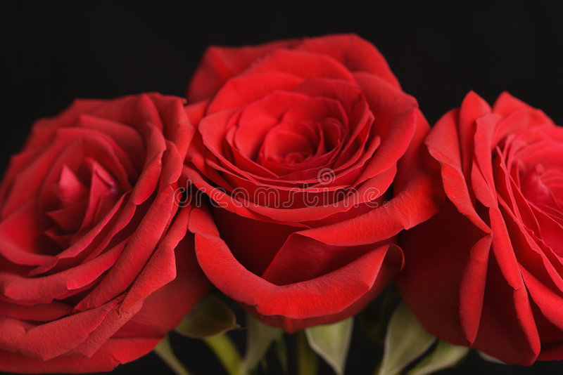 Rode rozen op zwarte. stock foto's