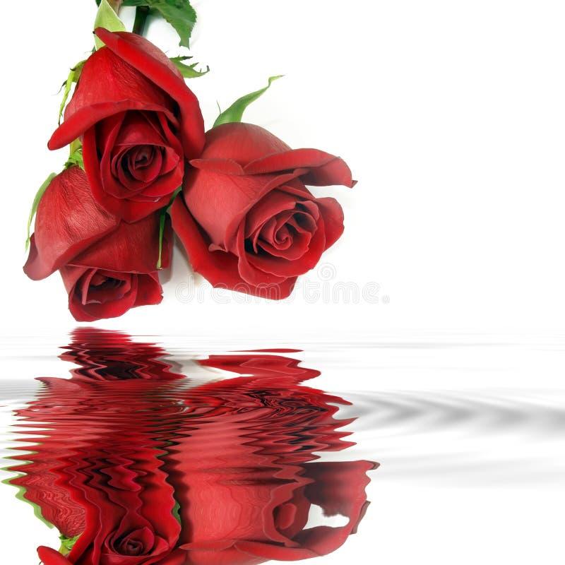 Rode rozenbezinning in water royalty-vrije stock afbeelding