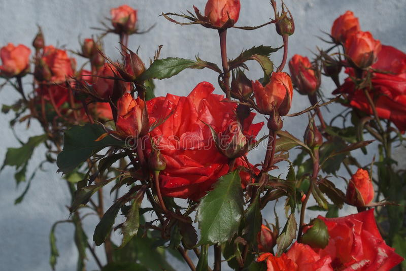 Rode rozenbloem royalty-vrije stock fotografie