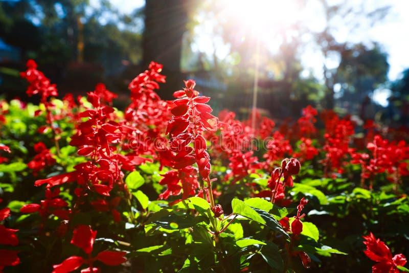 Rode Salvia Flowers royalty-vrije stock afbeelding