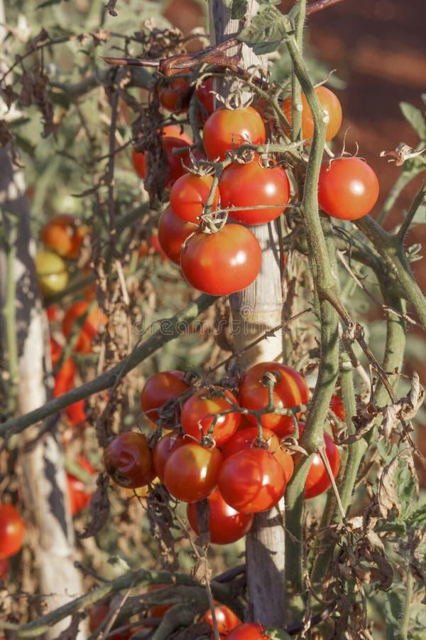Rode sappige organische kersentomaten die op stam groeien royalty-vrije stock afbeelding