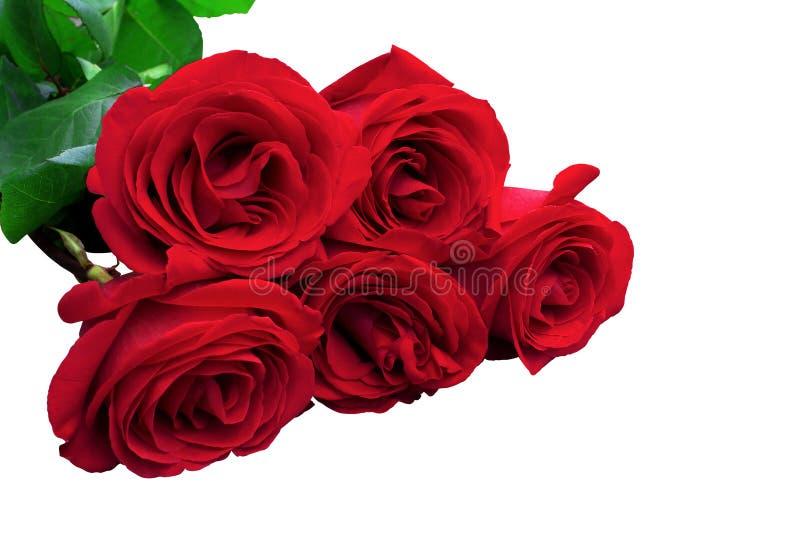 Rode of scharlaken rozen met groene bladeren Geïsoleerde, witte backgrou stock afbeelding