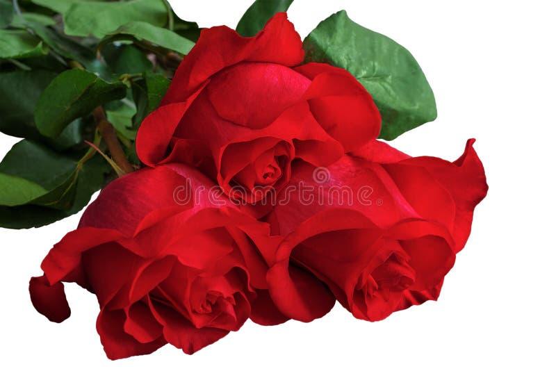 Rode of scharlaken rozen met groene bladeren Geïsoleerde, witte backgrou stock foto's