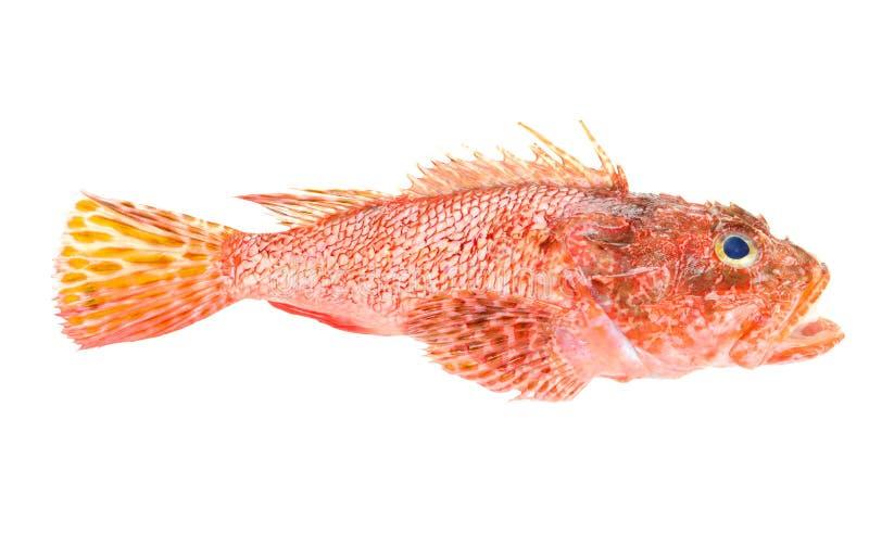 Rode Scorpionfish zeevruchten die op wit worden geïsoleerdA royalty-vrije stock foto's