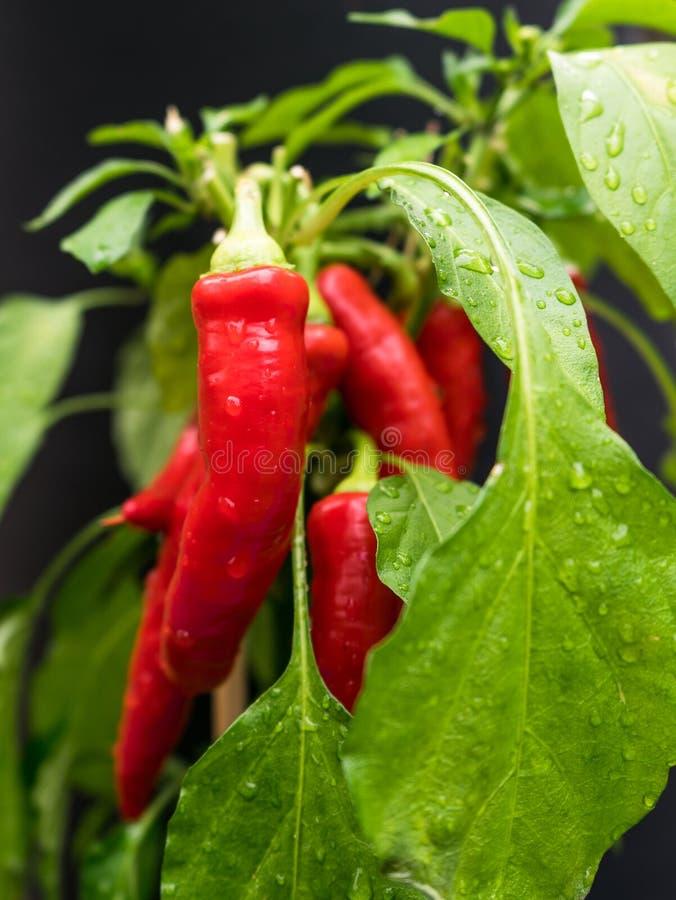 Rode Spaanse pepers ( Capsicum annuum) op het plantaardige flard na een regen met dalingen van water op de groene bladeren royalty-vrije stock foto