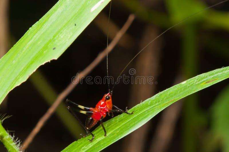 Rode Sprinkhaan stock afbeeldingen