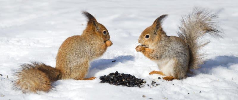 Rode squirel twee in de sneeuw stock afbeeldingen
