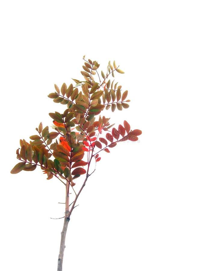 Rode struik stock afbeelding