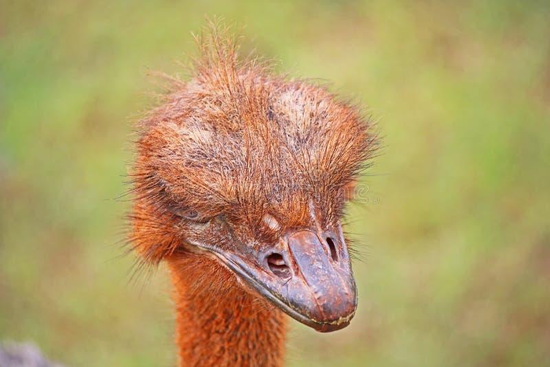 Rode Struisvogel die Folders zoeken stock foto
