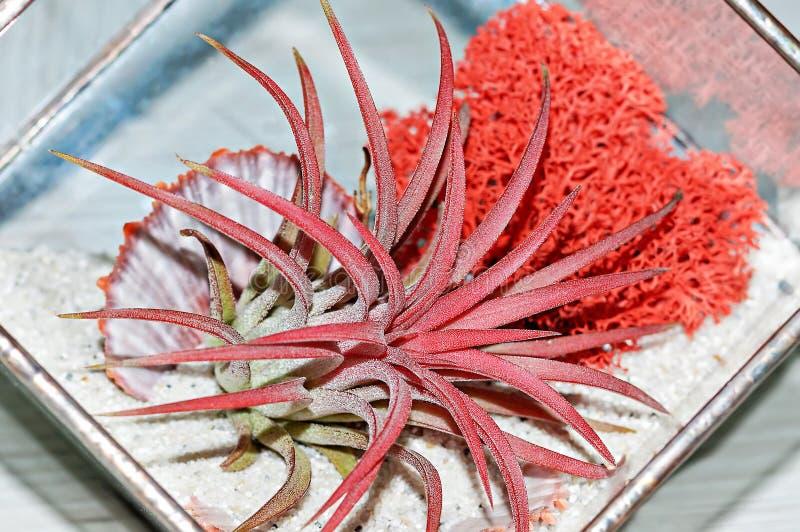 Rode succulente Haworthia met rode mos en shell glaspot royalty-vrije stock afbeelding