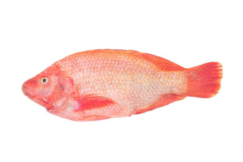 Rode Tilapia stock foto