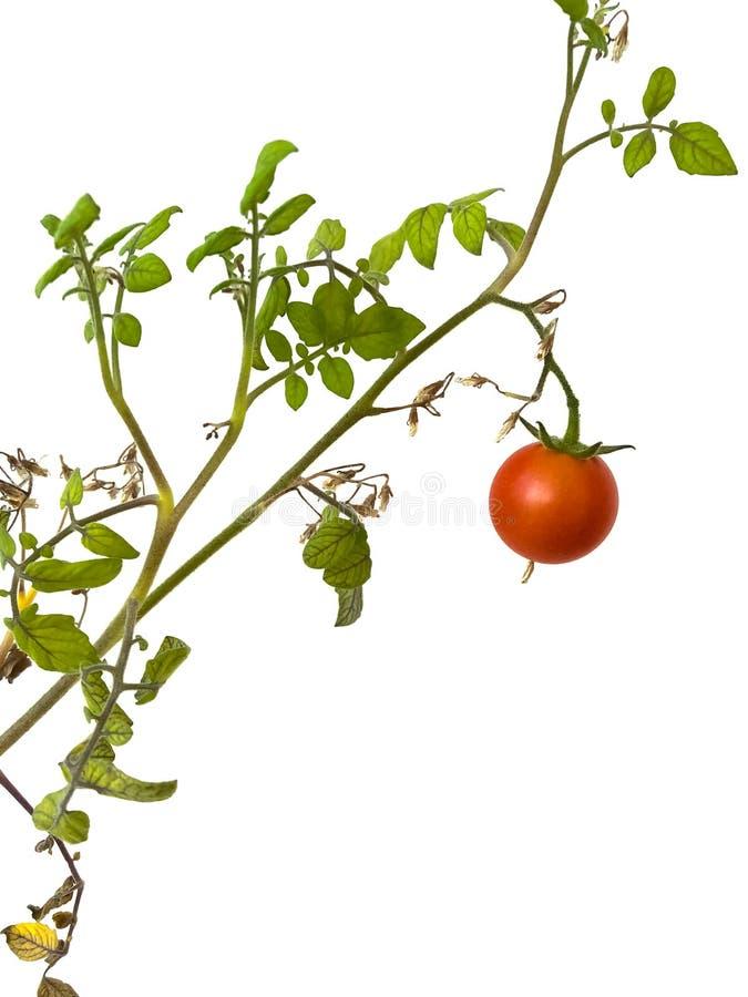 Rode tomaat op een tak op een witte geïsoleerde achtergrond, royalty-vrije stock afbeelding