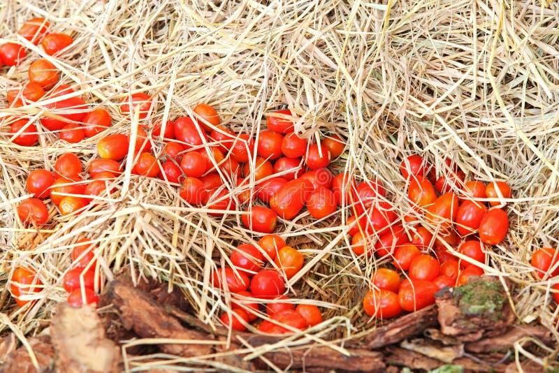 Rode tomaten royalty-vrije stock foto's