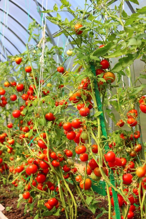 Rode tomaten in een serre stock afbeeldingen