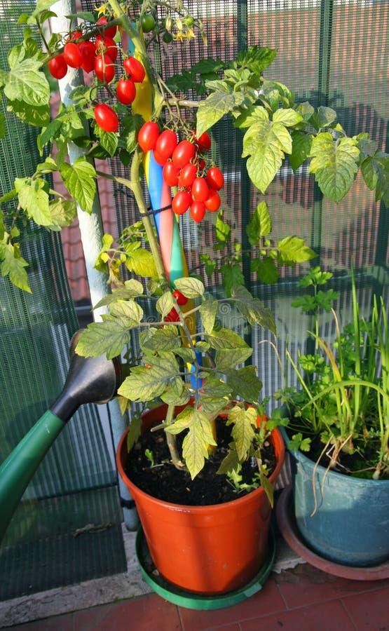 Rode tomaten in potten op het balkon royalty-vrije stock afbeelding