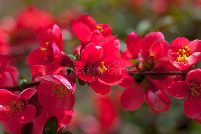 Rode tot bloei komende kweepeerbloemen royalty-vrije stock fotografie