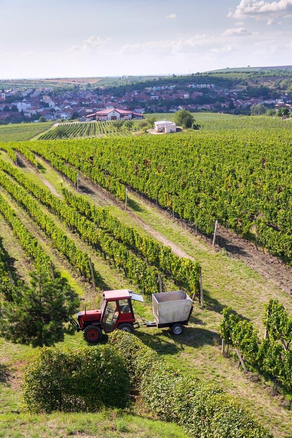 Rode tractor klaar voor het oogsten van druiven in wijngaard, zonnige de herfstdag, Zuidelijk Moravië, Tsjechische Republiek stock foto's
