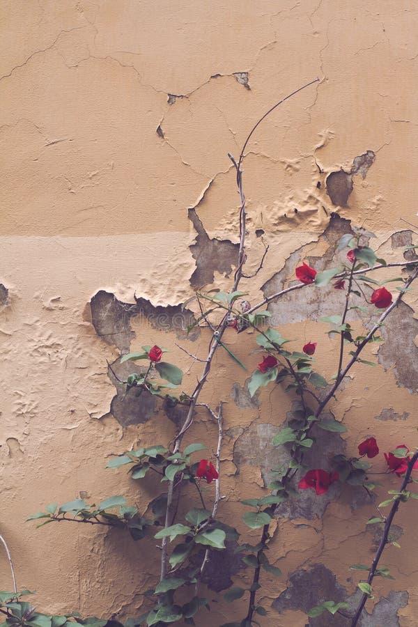Rode tuinbloemen tegen lichtbruine muur stock afbeelding