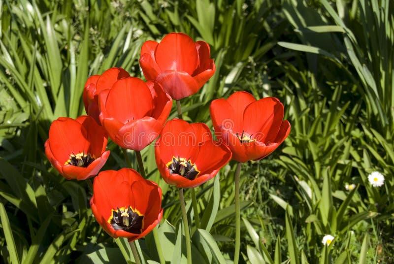 Rode tulipans stock fotografie
