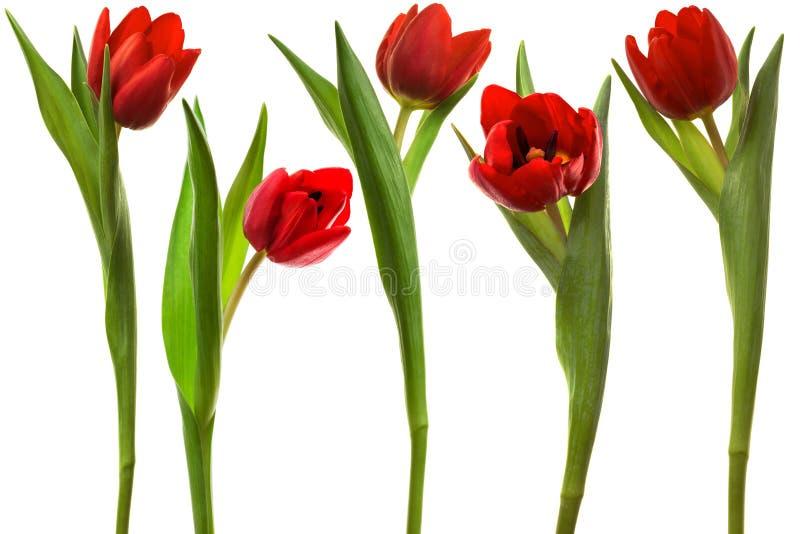 Rode tulp royalty-vrije stock afbeeldingen