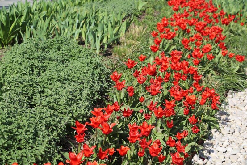 Rode tulp #01 royalty-vrije stock afbeelding