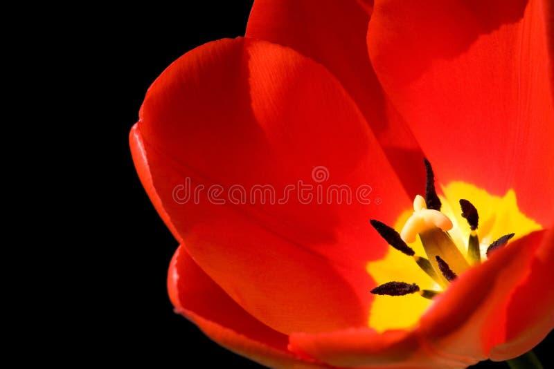 Rode tulp die op zwarte wordt geïsoleerde stock foto's