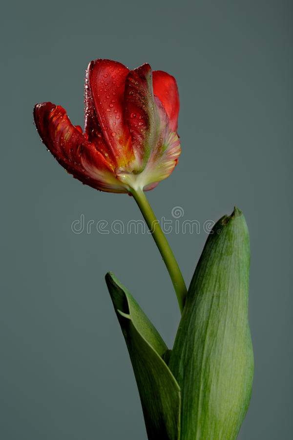 Rode Tulp met Dauw royalty-vrije stock fotografie