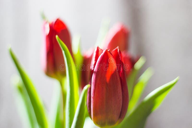 Rode tulp met verlof op witte dichte omhooggaand als achtergrond royalty-vrije stock foto's
