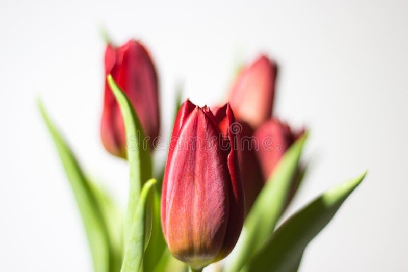 Rode tulp met verlof op witte dichte omhooggaand als achtergrond stock afbeeldingen